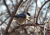 BC-Chickadee-creek-walk