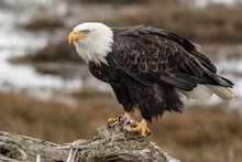 Year in review 2016: Bald Eagle in British Columbia.