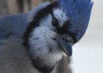 Blue-Jay-Calgary