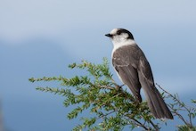 Year in review 2016: Gray Jay at Cypress Mountain, Vancouver, British Columbia, by Tony Joyce.