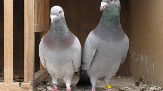 EXPERT NAVIGATORS: Homing pigeons have flown as far as 1,000 miles in competitions. Photo by guentermanaus/Shutterstock