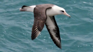 Laysan Albatross at Kilauea Lighthouse, Kauai, Hawaii, February 16, 2012, by DickDaniels (Wikimedia Commons).
