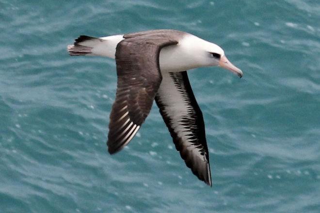 Laysan Albatross at Kilauea Lighthouse, Kauai, Hawaii, February 16, 2012, by DickDaniels (Wikimedia Commons).