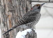 Northern-Flicker-intergrade-Calgary