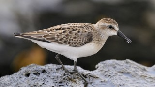 Semipalmated Sandpiper. Photo by Bill Thompson/U.S. Fish and Wildlife Service