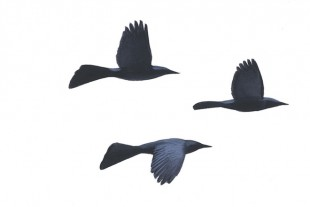 Bird ID and shape: Common Grackles as seen during the breeding season.