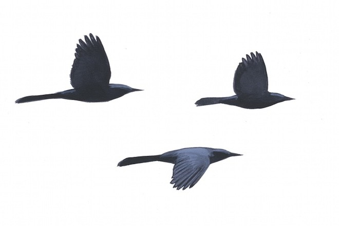 Bird ID and shape: Common Grackles fly in the nonbreeding season.