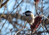 Staghorn-Chickadee
