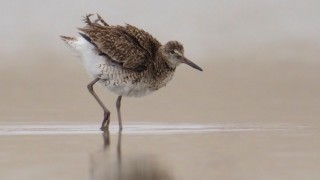Willet in a tide pool by Kim Caruso.