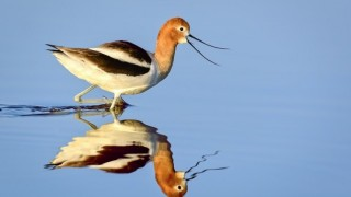 American Avocet at Piute Ponds, California, April 20, 2014. Photo by Brent Bremer.