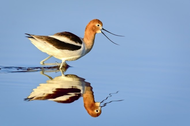 American Avocet is a star of many birding events. This one was at Piute Ponds, California, April 20, 2014.