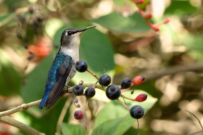 Bee Hummingbird, an endemic Cuban species, December 2016.