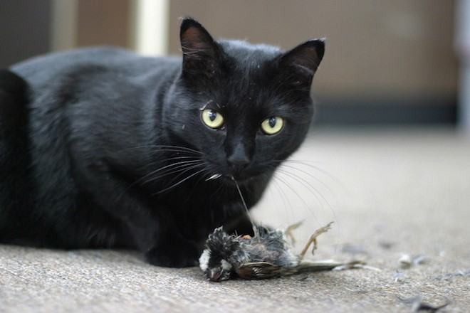 A domestic cat eats a House Sparrow, May 2005. Photo by Mark Marek Photography (Wikimedia Commons).