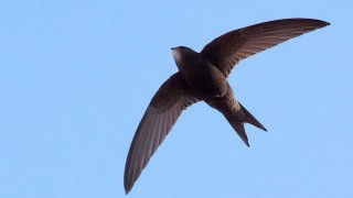 Common Swift in Barcelona, Spain, April 24, 2010, by Snowmanradio (Wikimedia Commons).