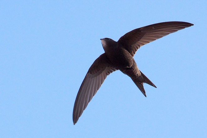 Common Swift Common Swift made bird news recently. This one was in Barcelona, Spain.
