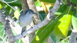 Cuban Gnatcatcher. Photo by Floyd Downs.
