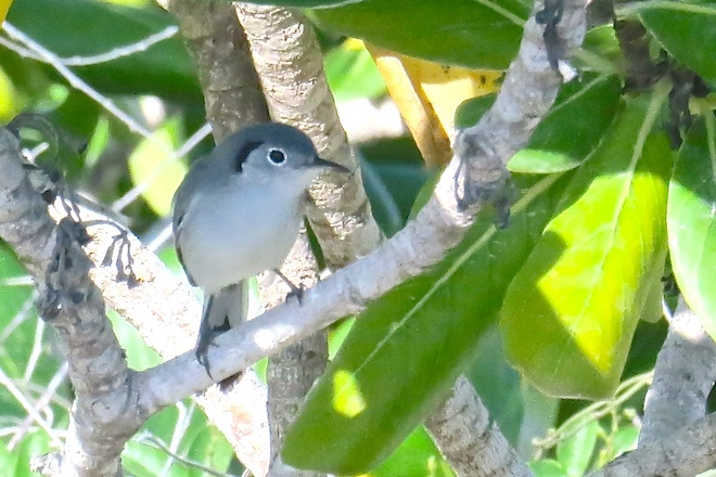 Endemic Cuban Gnatcatcher, December 2016.