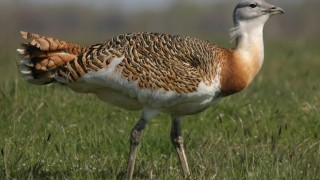 Great Bustard, March 30, 2008, by Andrej Chudý (Wikimedia Commons).