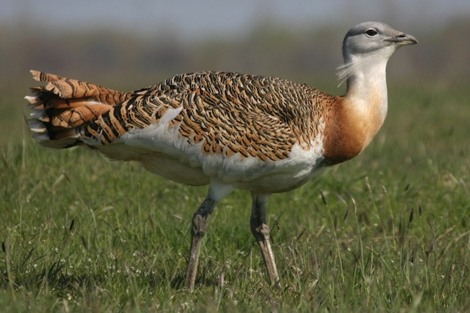 Portugal specialty: Great Bustard, March 30, 2008, by Andrej Chudý (Wikimedia Commons).