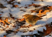 Hermit-Thrush_David-Butel_Kansas-City_2016_5I2A2949