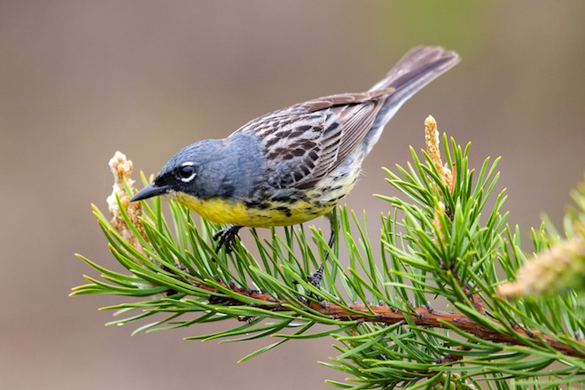 Kirtland's Warbler starts its annual movements by flying west in the spring and east in the fall..
