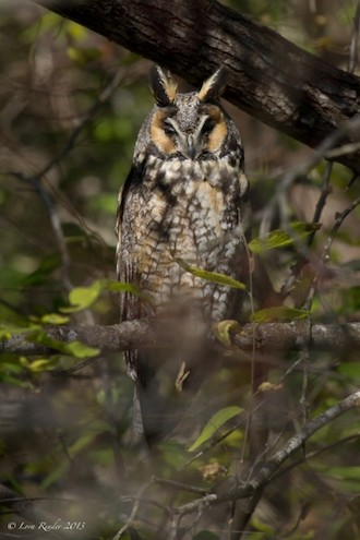 Long-eared Owl made bird news recently. This one was at Mitchell Lake Audubon Center, San Antonio, Texas.
