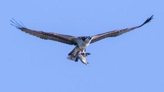 Osprey-with-Grebe-Species