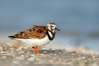 Ruddy Turnstone made bird news recently. This one was at Chincoteague NWR, in Virginia.
