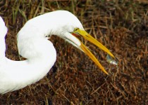 SW-Great-Egret-Stickleback-1