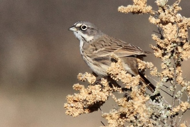Sagebrush Sparrow near Phoenix, Arizona, January 2015, by Laure Wilson Neish.