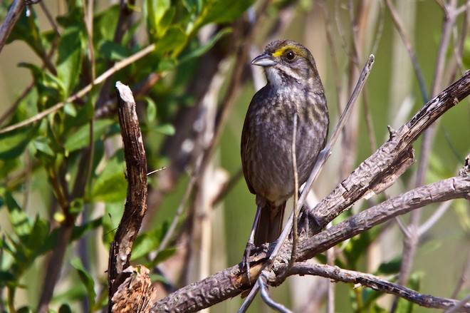 Deepwater Horizon oil has affected the Seaside Sparrow, which lives in salt marshes along the Atlantic and Gulf coasts and is a year-round resident of Louisiana.