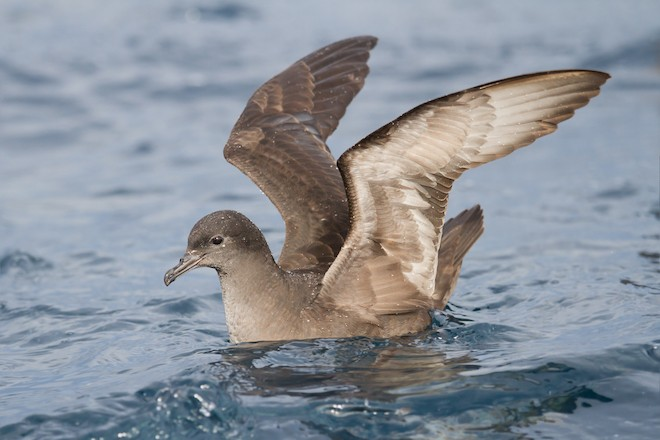Plastic eater: A Short-tailed Shearwater floats off the coast of Tasmania, Australia.