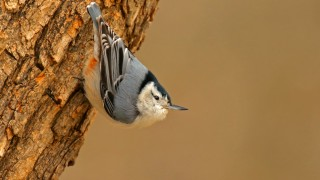 White-breasted-Nuthatch_David-Butel_Kansas-City_2016_5I2A3190