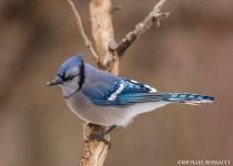 blue_jay-7723