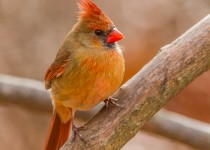 northern_cardinal_female-8250