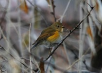 red-flanked-bluetail-lewiston-id-2