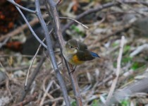 red-flanked-bluetail-lewiston-id-3