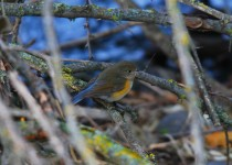 red-flanked-bluetail-lewiston-id-5