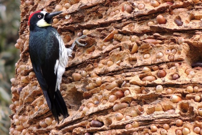 Acorn Woodpecker_660x440