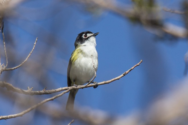 A Black-capped Vireo sings at Wichita Mountains Wildlife Refuge, in Oklahoma, in April 2013. Photo by Laura Erickson.
