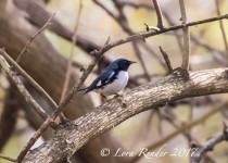 Black-throated-Blue-Warbler