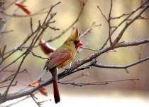 Cardinal-11-best-one