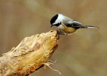 Chickadee-on-log-Grn-sml