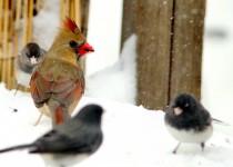Female-Cardinal-Juncos-003