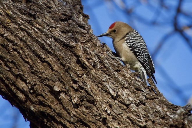 Gila Woodpecker_660x440