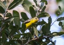 Golden-crowned-Warbler