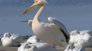 Great White Pelican at J.N. Ding Darling NWR, Sanibel, Florida, February 1, 2017. Photo by Lillian Stokes/stokesbirdingblog.com.