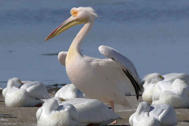 Great White Pelican made bird news recently. This one was at J.N. Ding Darling NWR, Sanibel, Florida, on February 1, 2017.