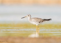 Greater-Yellowlegs