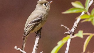 Pine Flycatcher was recorded by all four North American Big Year birders. This one was photographed in Sinaloa, Mexico, in 2010 by Ron Knight (Wikimedia Commons).